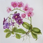 Phalaenopsis (Janet Sirrell)