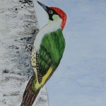 Green Woodpecker (Christine Riley)