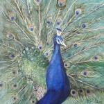 Proud as a Peacock(Rose Houlton)