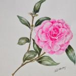 Camellia(Ann Hockey)