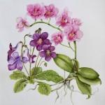 Phalaenopsis(Janet Sirrell)